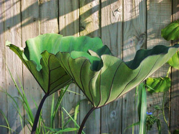 Colocasia &quot;Bikini tini&quot;