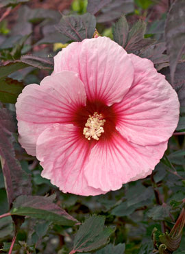 Hibiscus 'Summer Storm'
