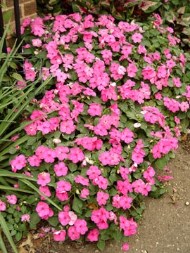 A healthy patch of impatiens should look like this by mid-summer.