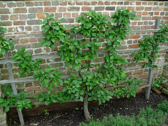 Apple Espaliered