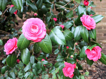 Camellias have glossy leaves and produce flowers that look much like roses, but without the fragrance.