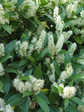 Cherry laurel is a durable, shade-tolerant broadleaf evergreen that produces white, bottle-brush flowers in early spring.