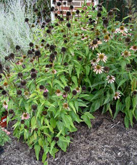 Deadhead coneflowers and other perennials to encourage a second crop of flowers.