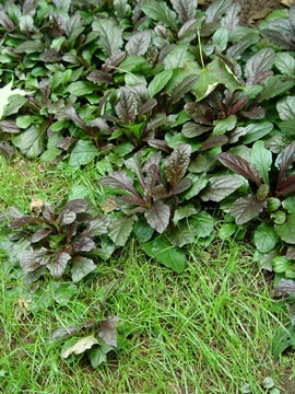 creeping ajuga