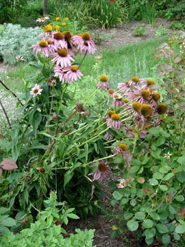 floppy coneflowers