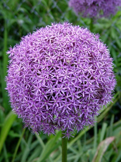 Spiky Ball Flower Balls of Purple Flowers