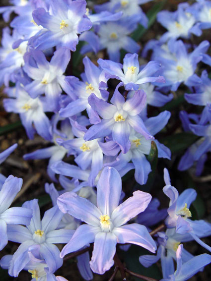 8 spring bulbs the critters wont eat preen chionodoxa mightylinksfo