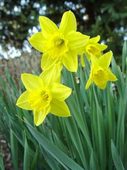 8 Spring Bulbs The Critters Won T Eat Preen