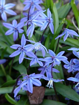 Siberian squill or Scilla