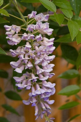 summer cascade wisteria bloom