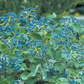 Viburnum 'Blue Muffin' arrowwood