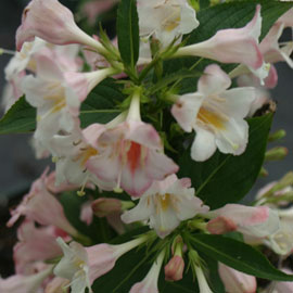 sonic bloom pearl weigela