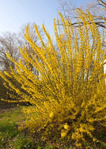 What S All The Fuss About Forsythia Preen