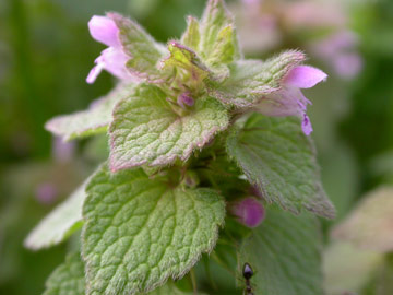 Close-up of the pointed leaves of purple deadnettle