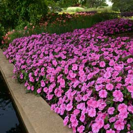 Impatiens Bounce™ Pink Flame