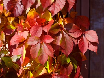 'Red Wall', Virginia creeper