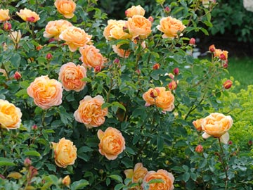 David Austin 'Lady of Shallott' shrub rose