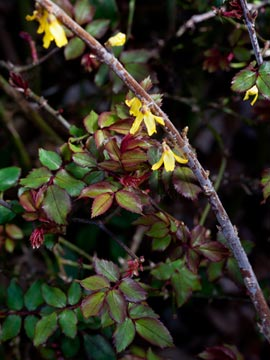 Forsythia & knockout rose