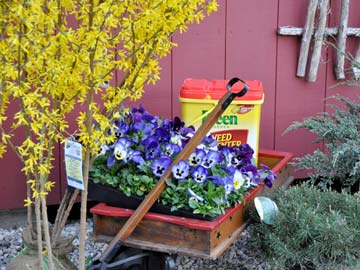 Forsythia buds mean it's time to apply Preen to control weeds