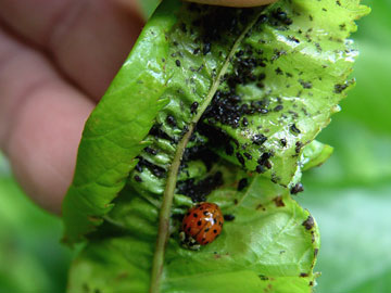 Lady beetle and aphids