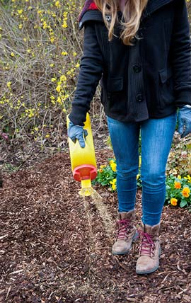 Apply Preen when forsythia is blooming