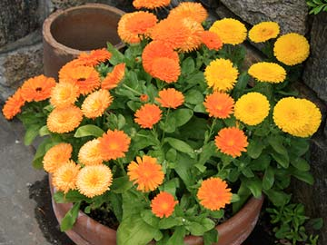 Pot marigolds
