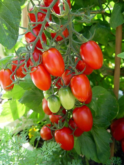 Small Tomatoes Such As These Grape Types Generally Have The Sweetest Flavor Since Sugars Concentrate In Smaller Packages