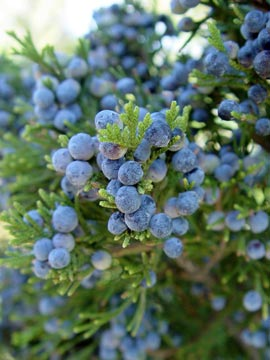 Sprigs of juniper with berries