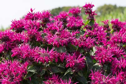 Monarda Bee-You Bee-True