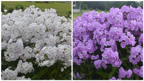 Phlox Fashionably Early Crystal and Fashionably Early Lavender