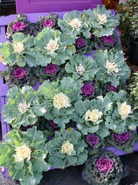 Ornamental cabbages and kales