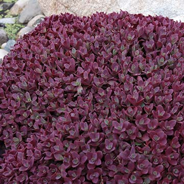 Sedum Sunsparkler Firecracker