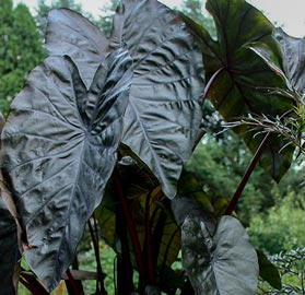 Black elephant ears