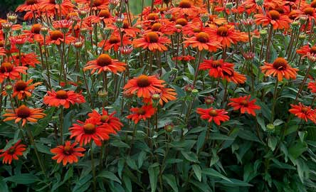Orange  Coneflower Kismet® 'Intense Orange'