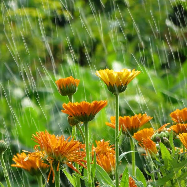 Heavy rain on flowers