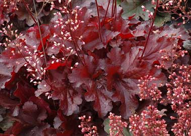 Coral bells Forever Red®