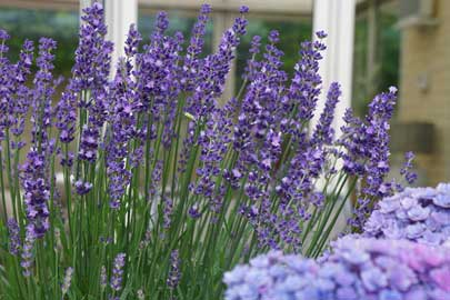 Lavender Big Time Blue®