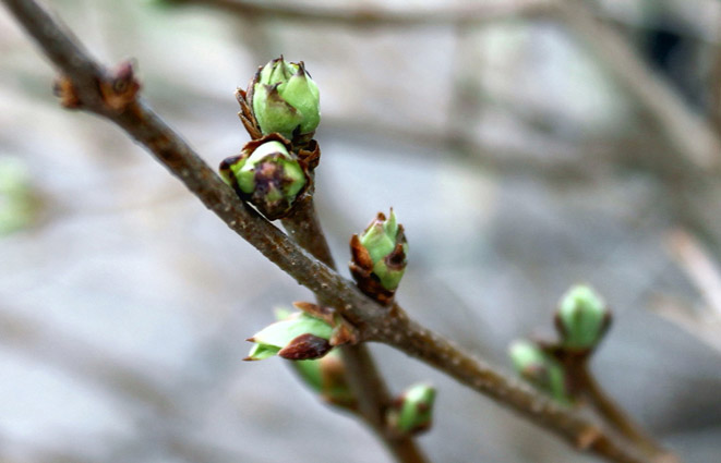 Why dont my shrubs bloom preen lilac buds mightylinksfo