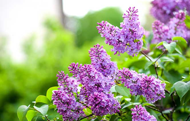 Why dont my shrubs bloom preen flowering lilac mightylinksfo
