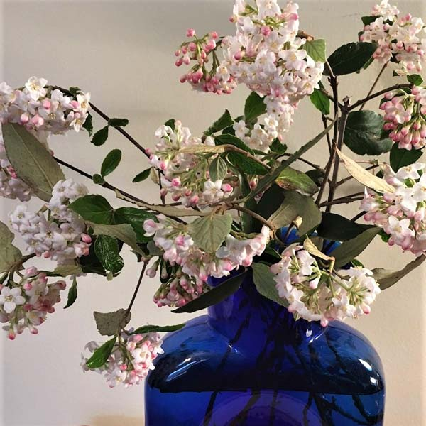 Snip a few branches the fragrant burkwood viburnum for indoor enjoyment.