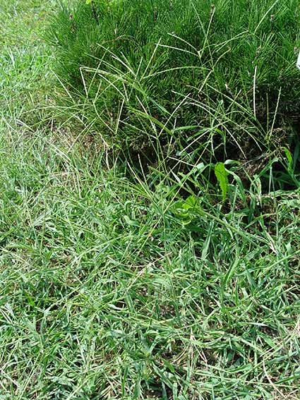 These crabgrass plants have gone to seed