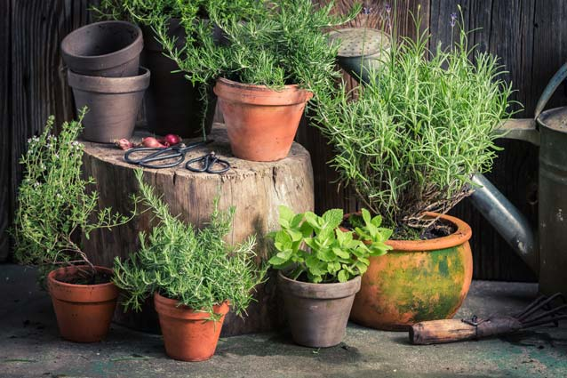Herbs growing in pots.