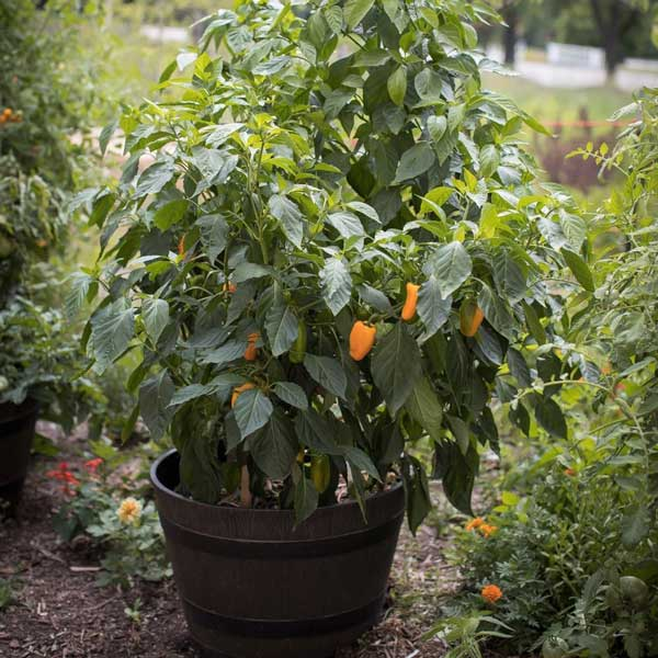 Just Sweet pepper is perfect for a container or other small space.