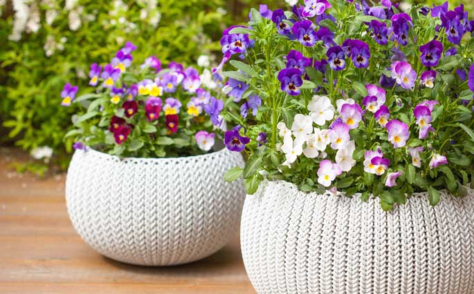 Pansies in pots on the porch