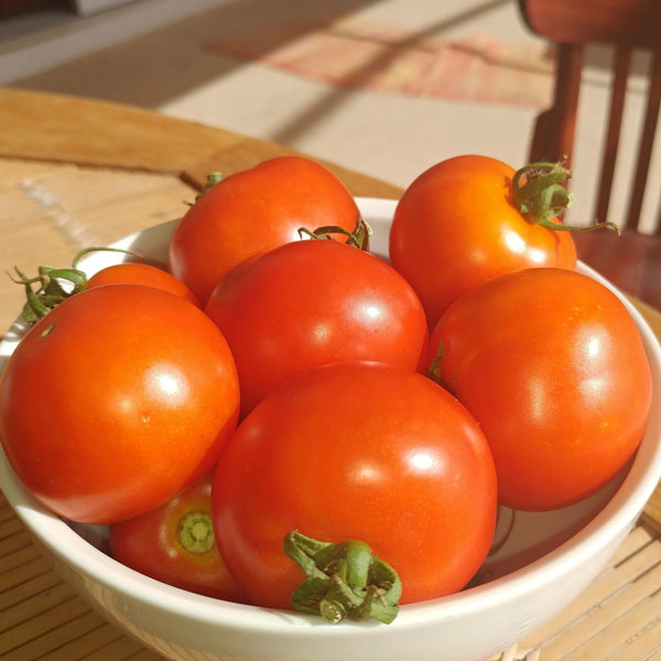 Red Racer reaches picking size at least a week before many other tomatoes.