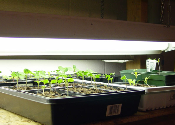 Grow seedlings under workshop lights