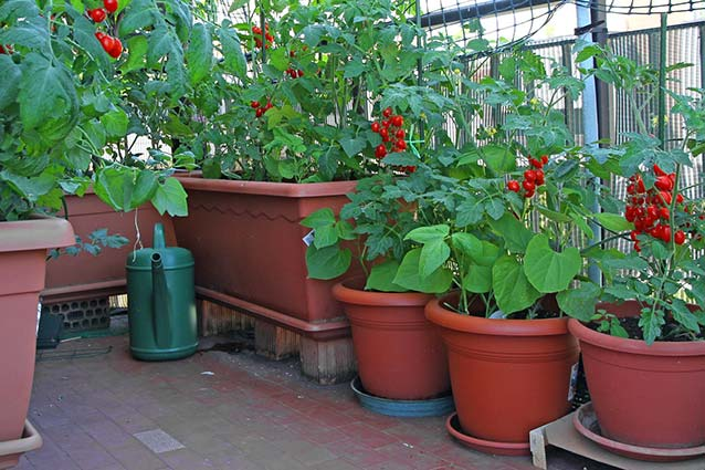 These tomato plants are thriving in a patio containerized veggie garden.