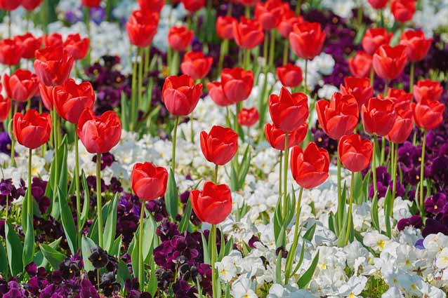 Purple and white pansies form a colorful mat under red tulips.