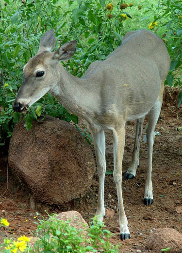 Keep Deer From Eating The Landscape Preen