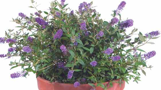 Small Tough Shrubs Perfect For Containers Or Landscapes